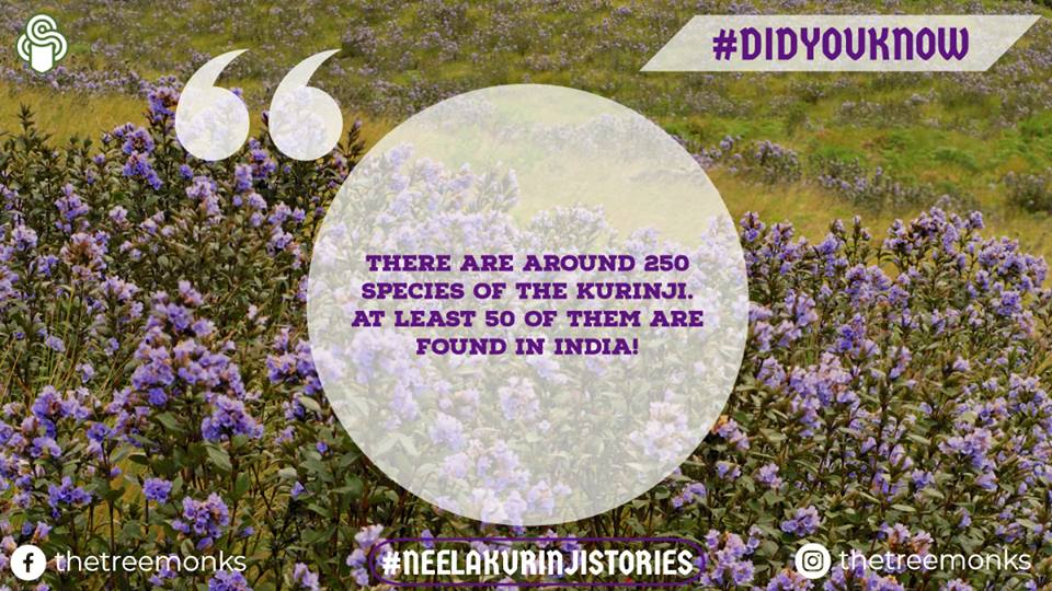 Neelakurinji - less known facts | Travel to witness the magic!